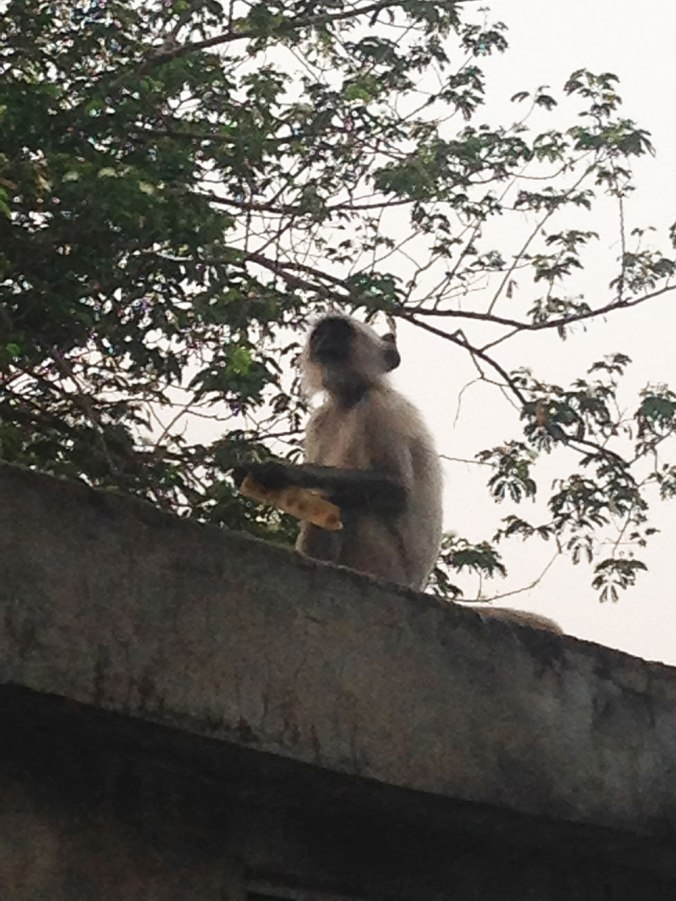 monkey-japa-viajante-vipassana-meditation-india